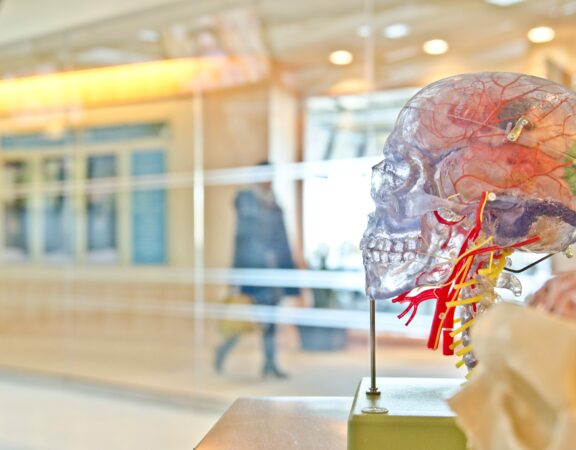 Model of a human brain photographed in an anatomy lab.